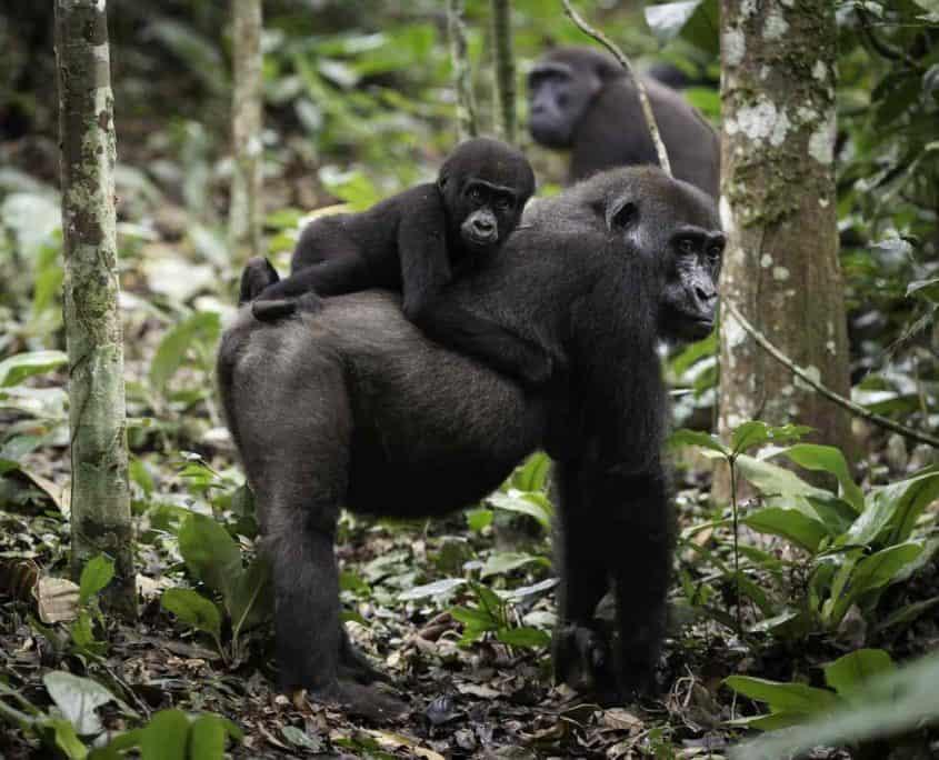 Lavlandsgorillaer i Congos natur