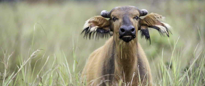 Skovbøffel i græs