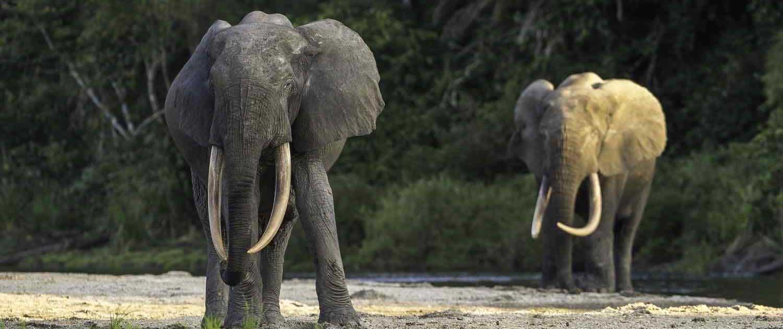 Skovelefanter i Congo