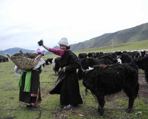 Indsamling af yakgødning fra yakokser