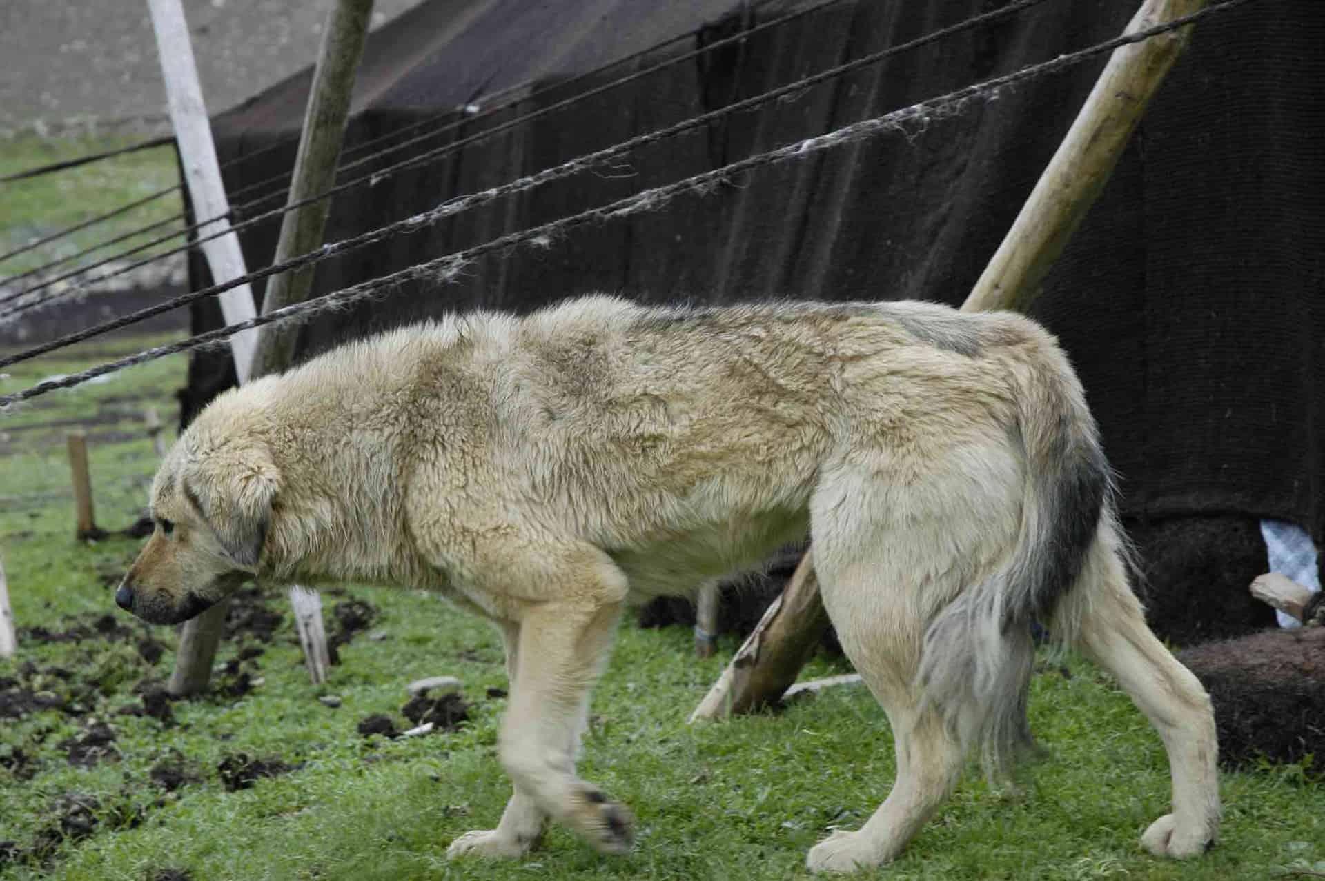 Mastiff-hund på rejser til Tibet