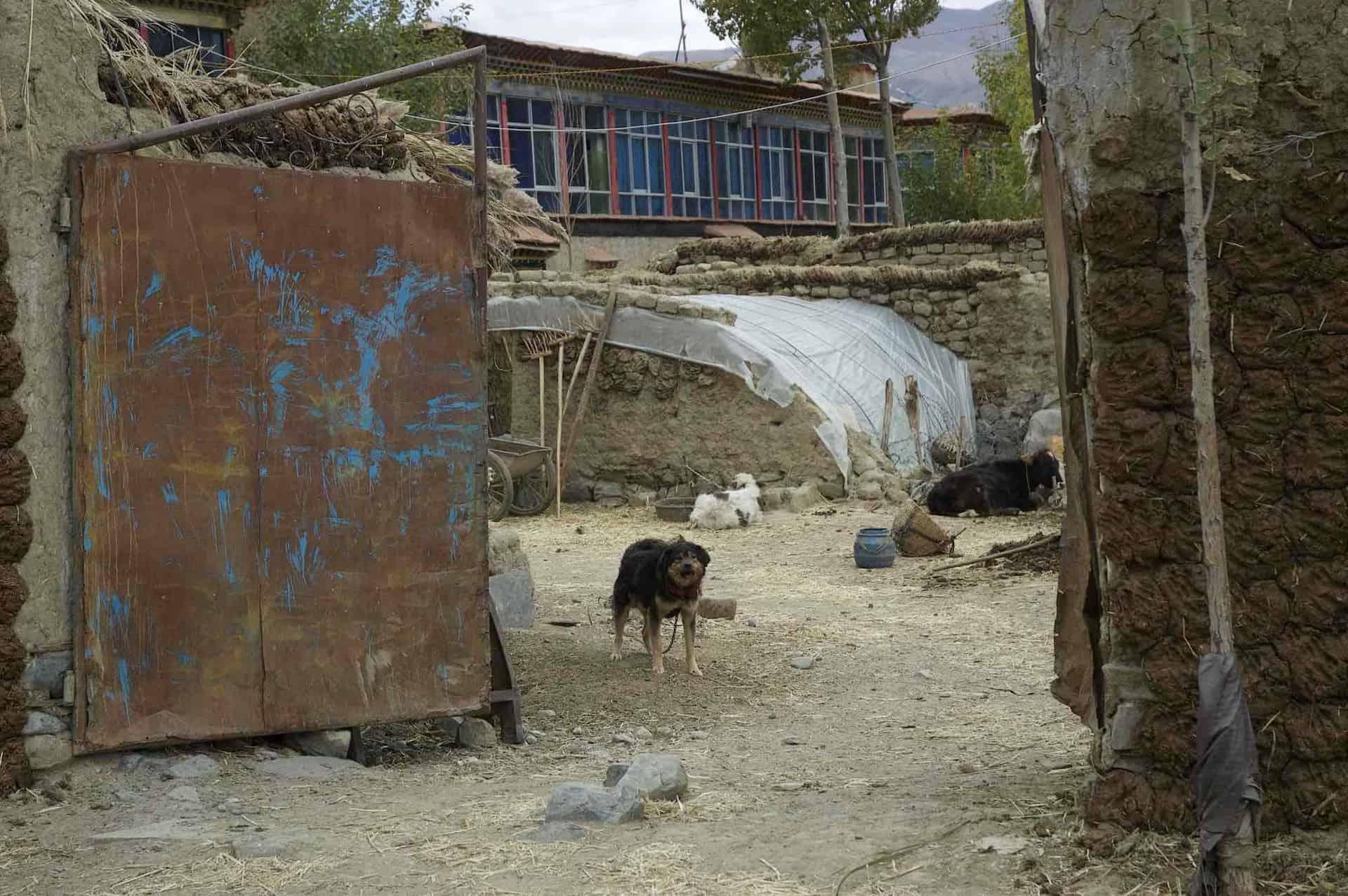 Hund i landsby i Shitgatse