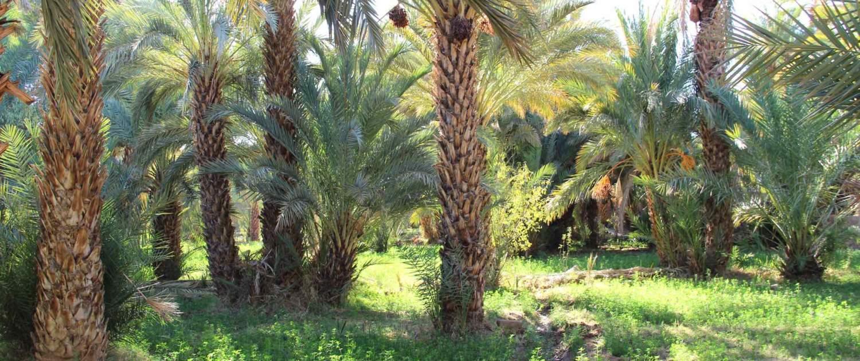 Skoura oase med palmer