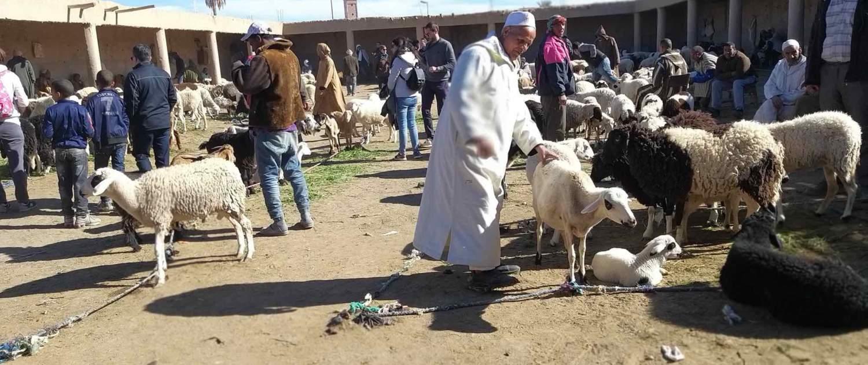 Rissani fåremarked Marokko