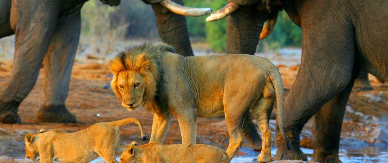 Løver og elefanter på Namibia rejse