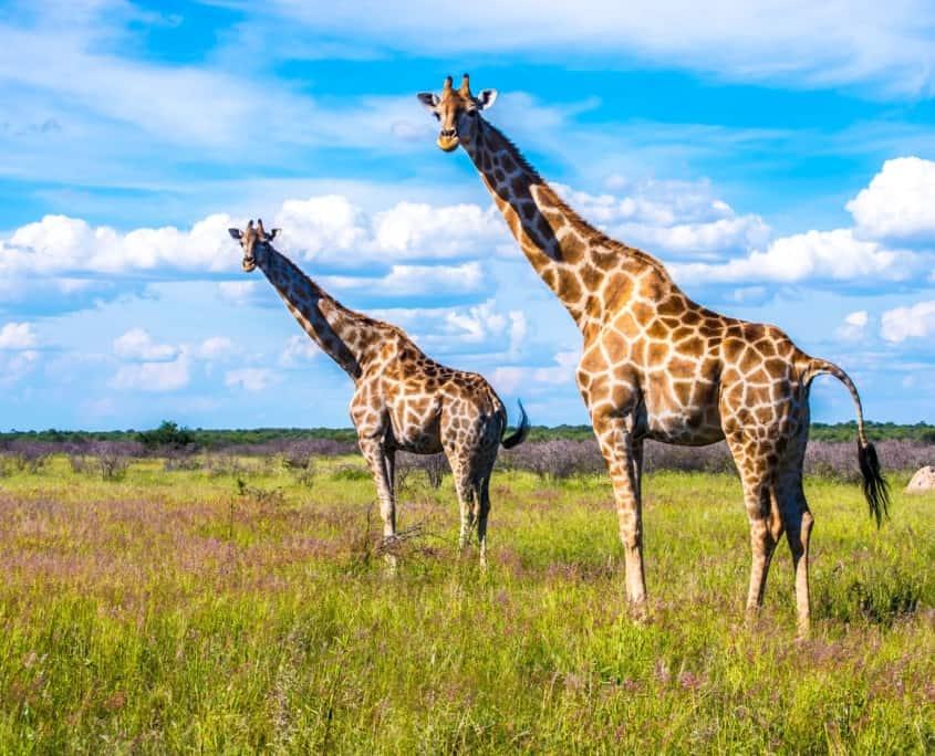 Giraffer - på safari i Namibia