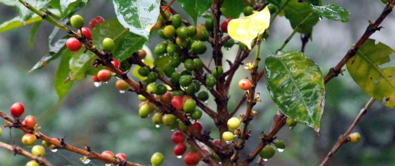 kaffeplanter på rejser til Costa Rica