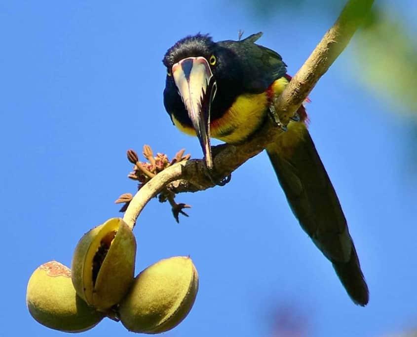 Aracari I Costa Rica