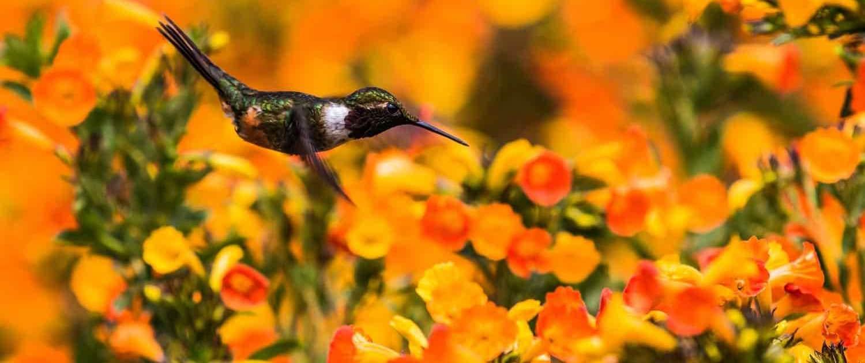kolibri på blomster i Panama