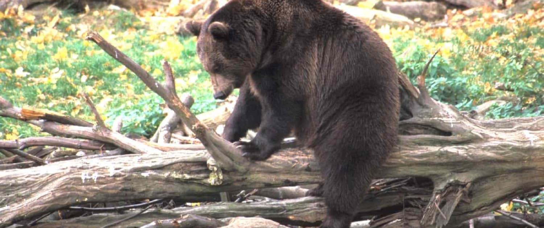 Europæisk brun bjørn fra bjørneskjul