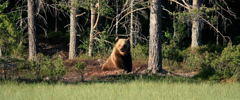 brun bjørn