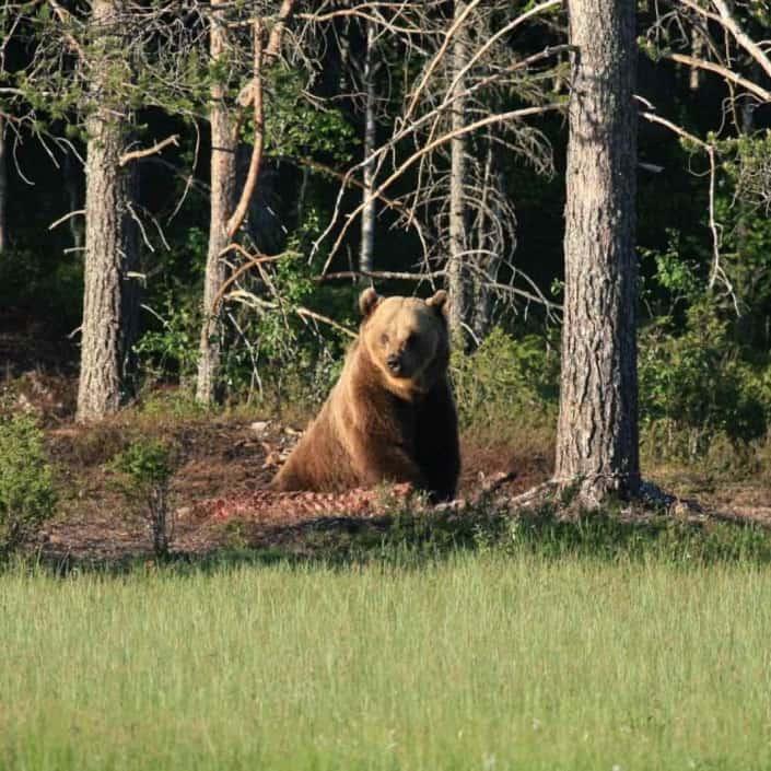 brun bjørn i Rumænien