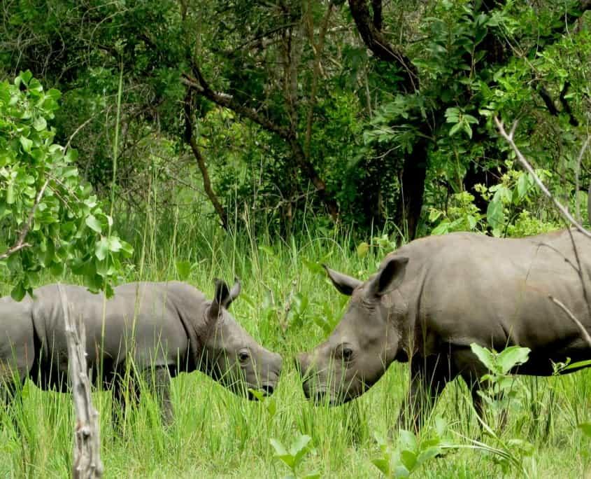 Næsehorn Uganda