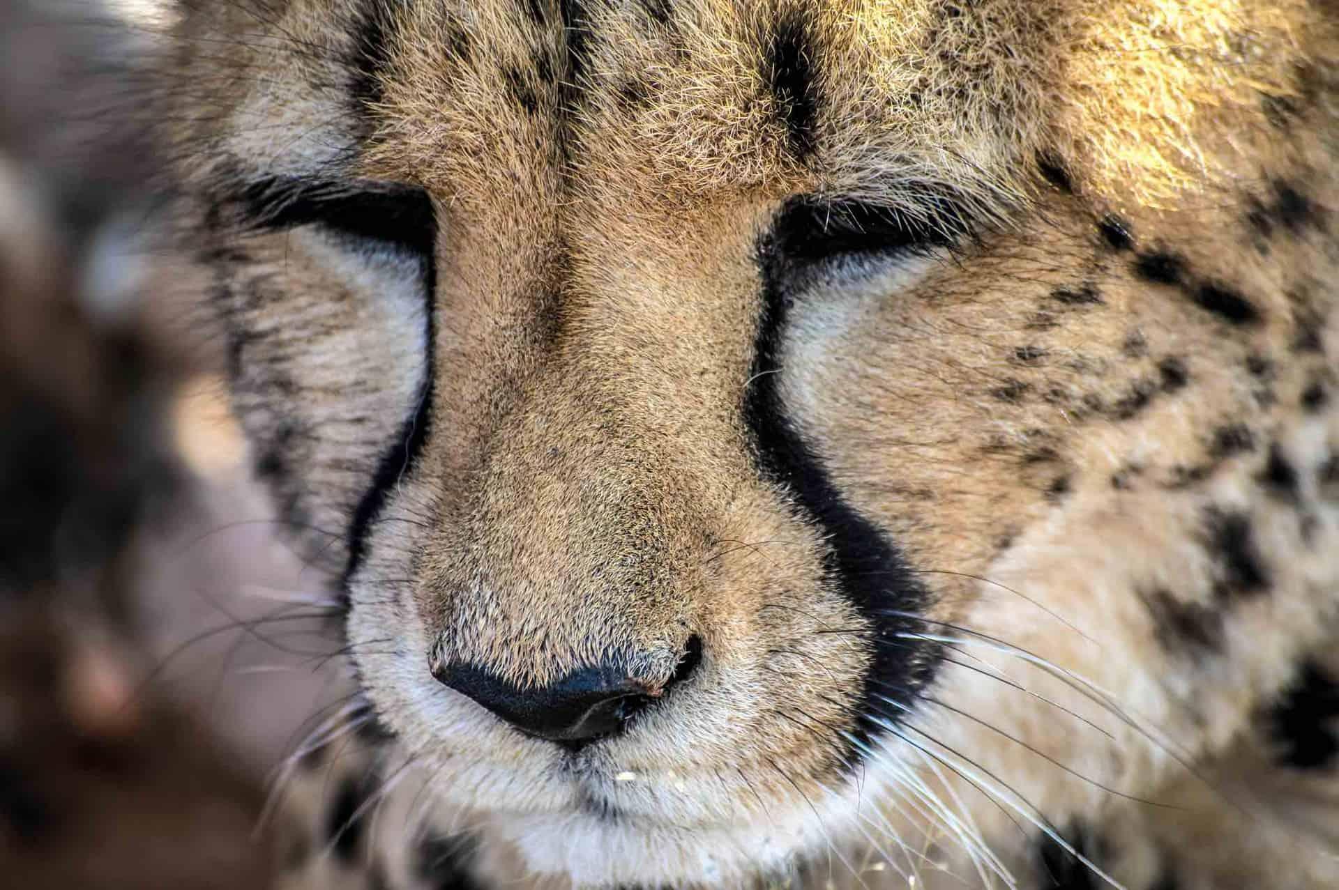 Namibia - gepard - Etosha
