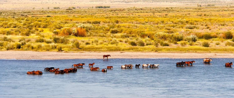 heste i vandet i Mongoliet