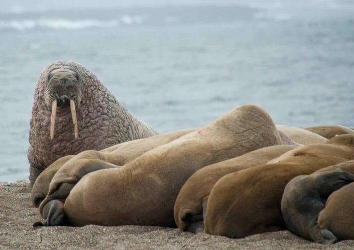 hvalrosser slapper af i Svalbard
