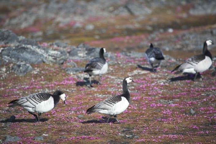 Fugle på rejser til Svalbard