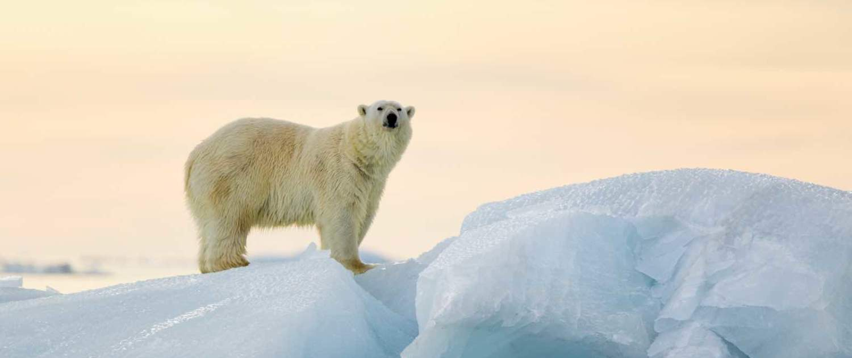 Isbjørn på isen i Svalbard