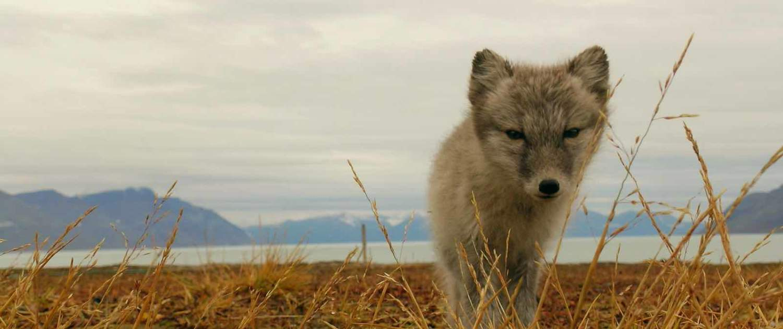Arktisk ræv på rejser til Svalbard