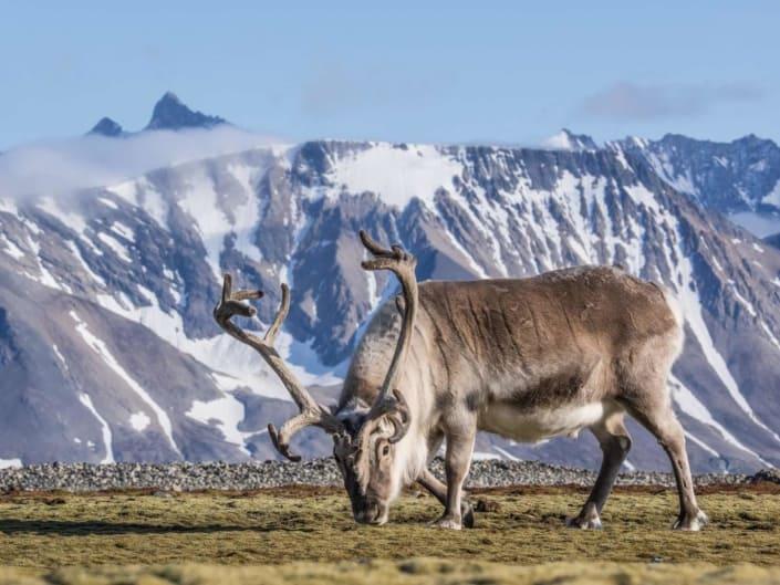 Rensdyr i Svalbard