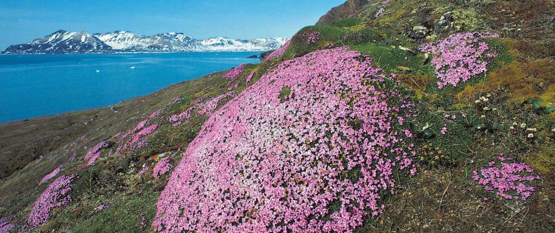 Stenbræk blomster på Spitsbergen