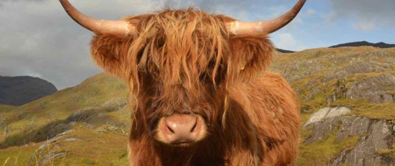 Højlandskvæg i Skotland