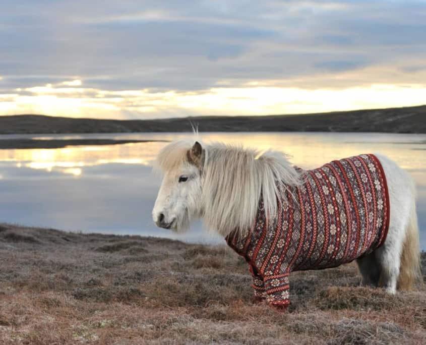 Shetlandspony i sweater
