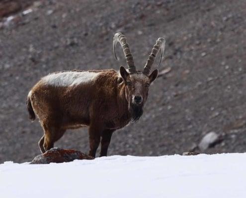 Ibex I Chitral, Pakistan