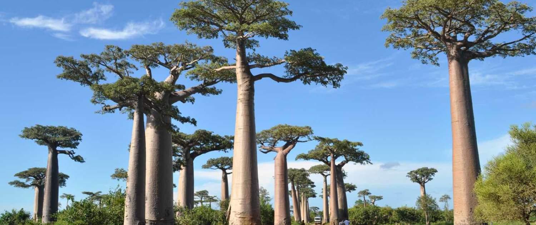 Baobabtræer på rejser til Madagaskar