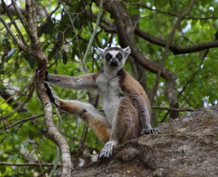 Lemurer i Madagaskar