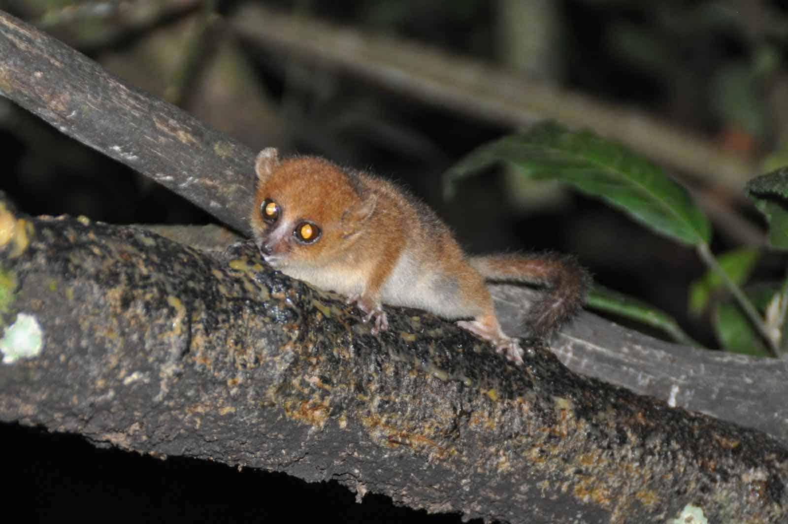 Muselemur i Madagaskar