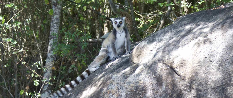lemur i Madagaskar
