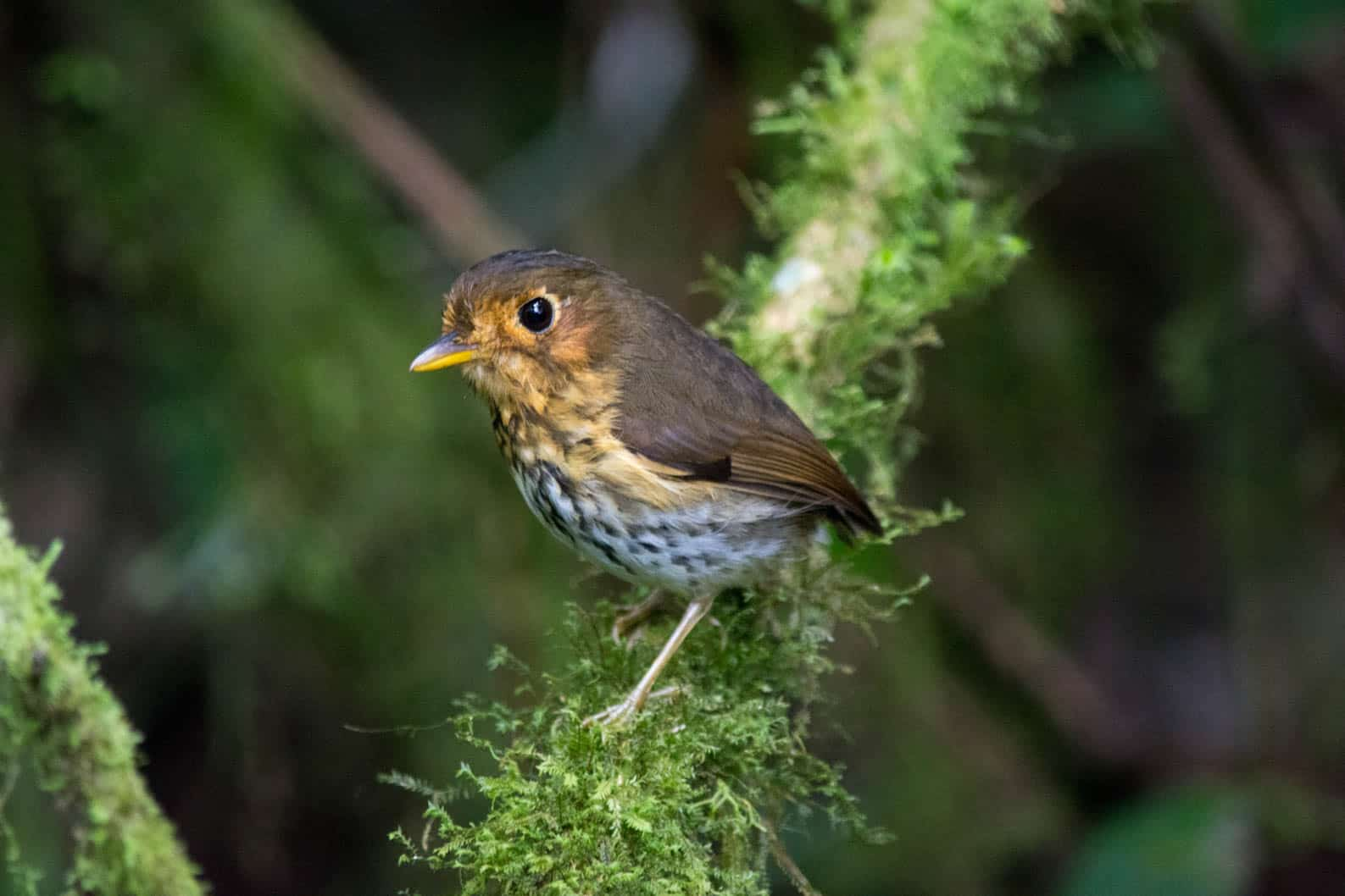 orche-breasted antpitta